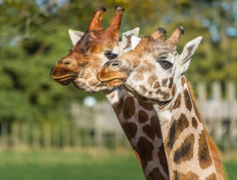 Giraffes at Blair Drummond Safari Park