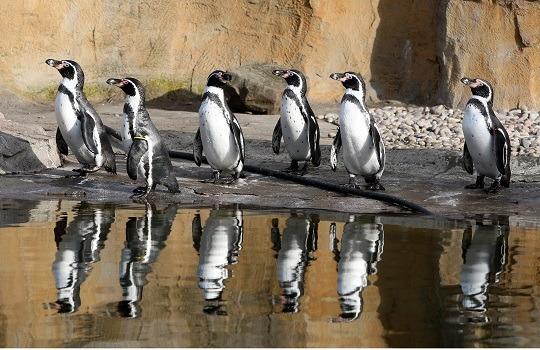 Humboldt penguin 540x350