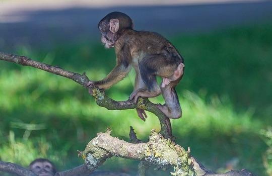 LttW macaque 540x350