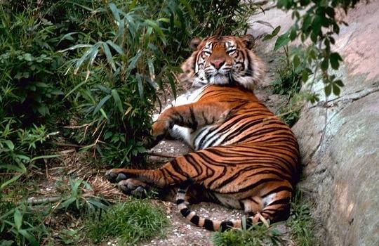 bengal tiger 540x350