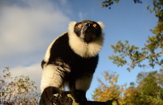 black & white lemur x540
