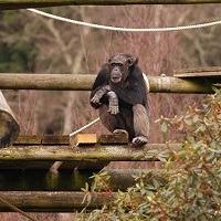 chimp 200x200