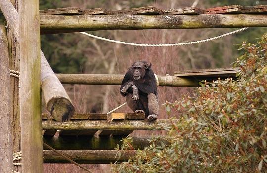 chimp 540