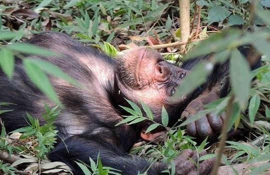chimpanzee 540x350