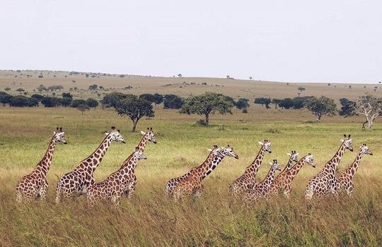 giraffes LttW x 540