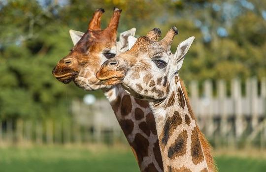 giraffes x540