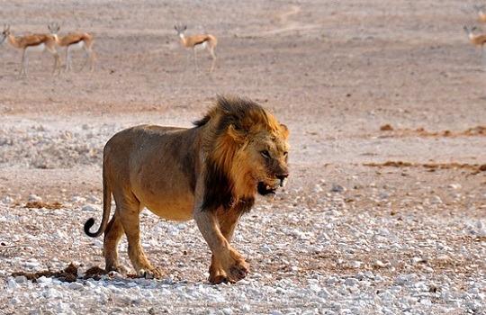 lion 540x350