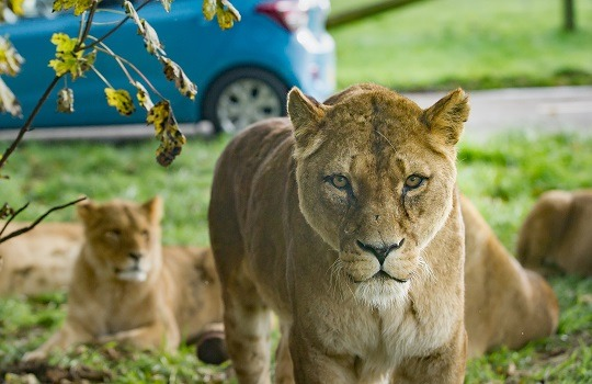 lions x 540