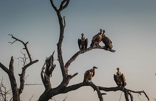 lttw vultures 540x350
