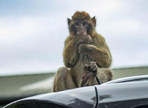 macaque 540x350