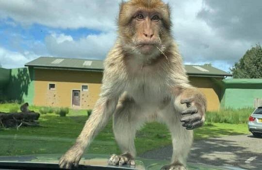 macaque drive-thru x540