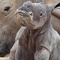 rhino 200x200