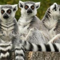 ring tailed lemur 200x200
