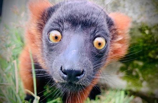 rr lemur babyx540