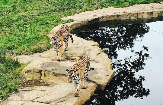 tigers x 540