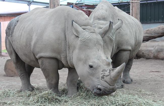 Bonnie the baby rhino at Blair Drummond
