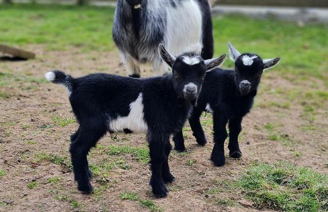 Pygmy goat twins born at the Safari Park