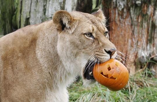 lion pumpkin 540x350