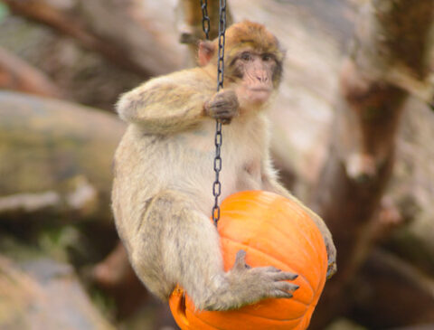 monkey-on-the-pumpkin